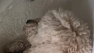 Giant poodle in tub - Video