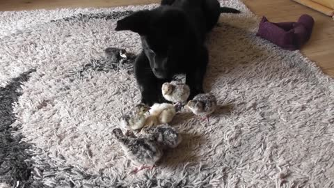 German Shepherd puppy meets turkey chicks