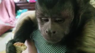 Monkey Eating Wheat Bread  - Video