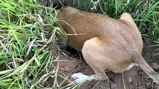 Dog becomes extremely defensive of hole he dug, refuses to leave it