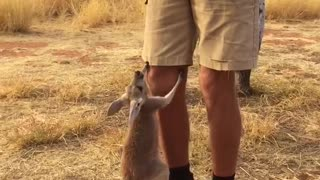 Orphan Baby Kangaroo Loves Her Pouch - Video