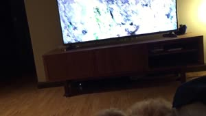 Confused puppy thinks TV is a window - Video