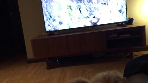 Confused puppy thinks TV is a window