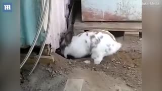 Heroic rabbit digs a tiny stuck kitten out of trouble!