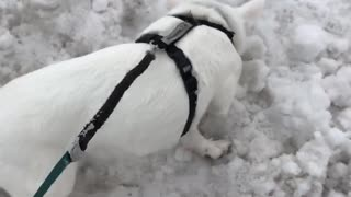 This little pig loves snow - Video