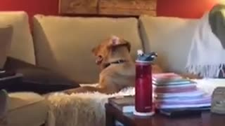 Brown dog sitting on couch with back to tv - Video