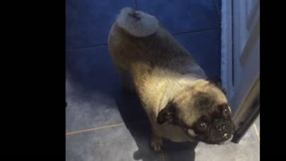 Disappointed pug refuses to go out into snow  - Video