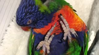 Lorikeet really enjoys head scratch - Video