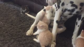 Foster kittens use Dalmatian as personal jungle gym - Video