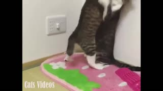 Feisty Between Two cats At Home