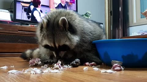 Raccoon is peeling garlic with delicate touch to help his mom.