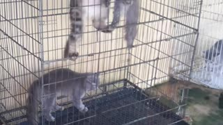Just Three Cats Hanging Out - Video
