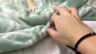 Small tan dog plays with owners hand and growls on green blanket  - Video