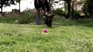 Collab copyright protection - black dog purple ball runs into cam - Video