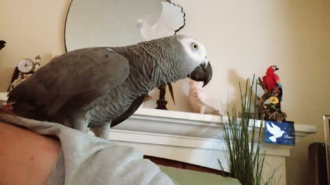 African Grey Parrot lets loose array of hilarious noises