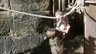 Funny Baby Monkey Play In The Early Morning At Bayon Templ - Video