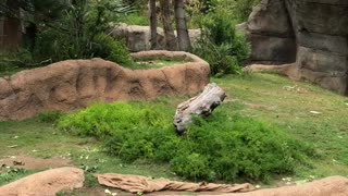 Silverback Gorilla Chase - Video