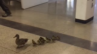 Mother Duck Leads New Ducklings Through High School to Creek - Video