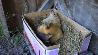 Baby Guinea Fowl and their Mum Penny the Silky - Video