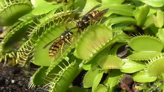 Yellow Jackets Captured by Venus Fly Trap