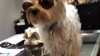 I'm crying dog on glass table wearing sunglasses - Video