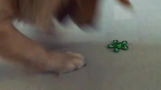 Dog trying to grab fidget spinner - Video