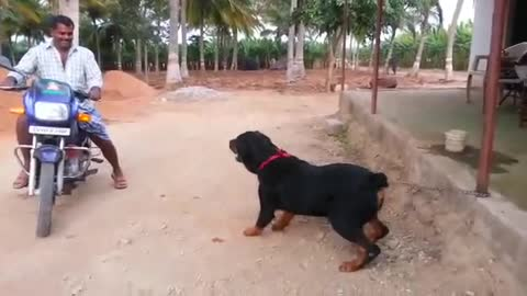 big dog barking on man at bike