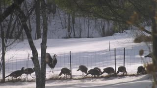 Wild turkeys graze in snowy field - Video