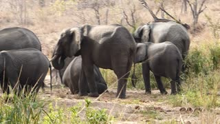 Baby Elephant at Kruger National Park - Video