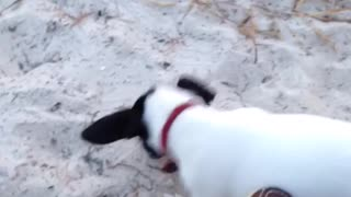 Brown dog and small white puppy play in sand
