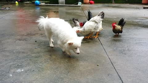Chicken Attack Dog || Chicken fights dog
