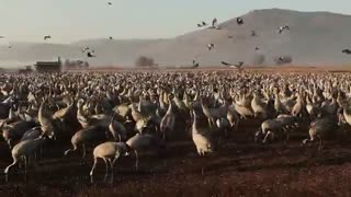 World of Wildlife - wild Cranes birds at Agamon Hula valley Nature Reserve, Israel - Episode 5 - Video
