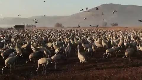 World of Wildlife - wild Cranes birds at Agamon Hula valley Nature Reserve, Israel - Episode 5
