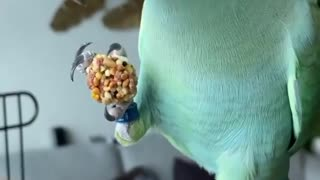This smart parrot knows what to do to get his treat