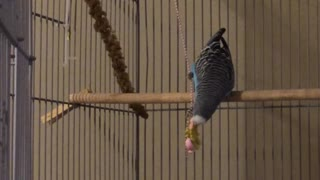 Parakeet has swinging good time with toy necklace