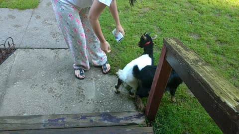 Struggling To Keep Baby Goats Out Of Flower Bed