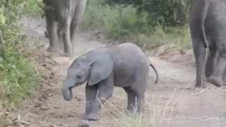 Baby Elephant on the move