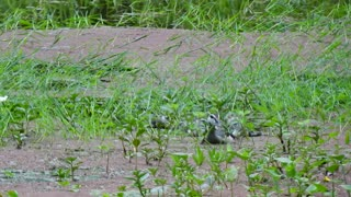 Baby Wild Duck Try To Swimming Follow Mother