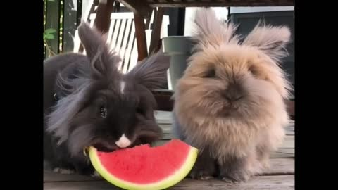 2 Rabbits Eat Watermelon