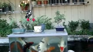 small big beautiful fish in tank  - Video