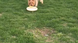 Small brown dog carries tennis ball and frisbee