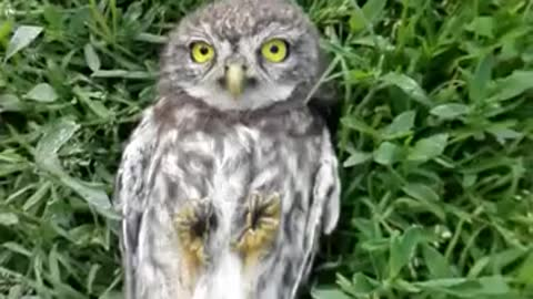 Precious baby owl loves to get head scratches