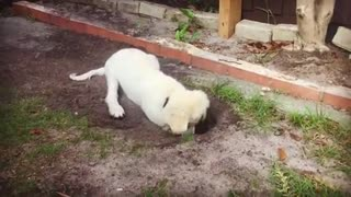 Cute Puppy thinks his a landscaper  - Video