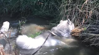 Exhausted pup sprawls out in refreshing creek - Video