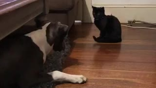 Puppy introduced to new kitten, totally freaks out