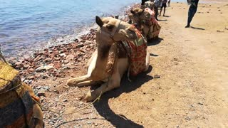 Excited Tourist After Camel Beach Ride In Dahab