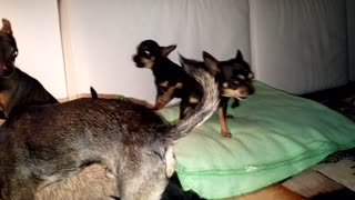 angry chihuahuas barking attack  - Video