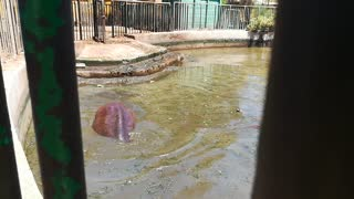 Baby Hippo Gets In Dirty Zoo Water