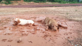 Dog Duo Loves Rolling In Muddy Puddle