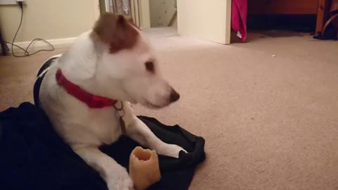 Cute Jack Russell Dog just chilling with her bone and listening to the conversation downstairs